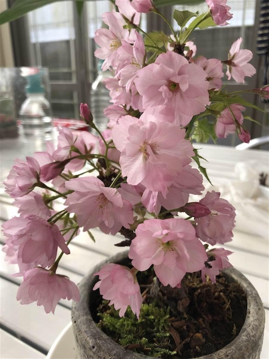 日本各地方政府盼民眾勿外出賞櫻,在家賞櫻花盆景也不失風雅。(黃菁菁攝)