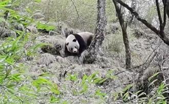 四川唐家河保護區 發現三隻大熊貓