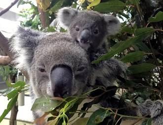 動物寶寶有超能力?小無尾熊抓爸媽「抱緊處理」
