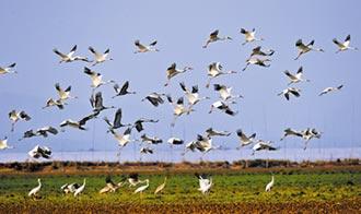 鄱陽湖越冬候鳥 最後一批北遷