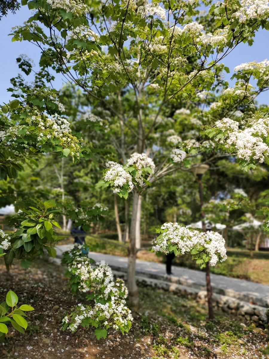 古坑鄉荷苞山桐花公園的近千棵油桐花盛放。(周麗蘭攝)