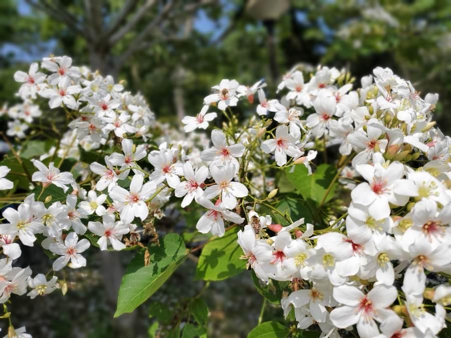 古坑鄉荷苞山桐花公園的油桐花今年開得很美。(周麗蘭攝)