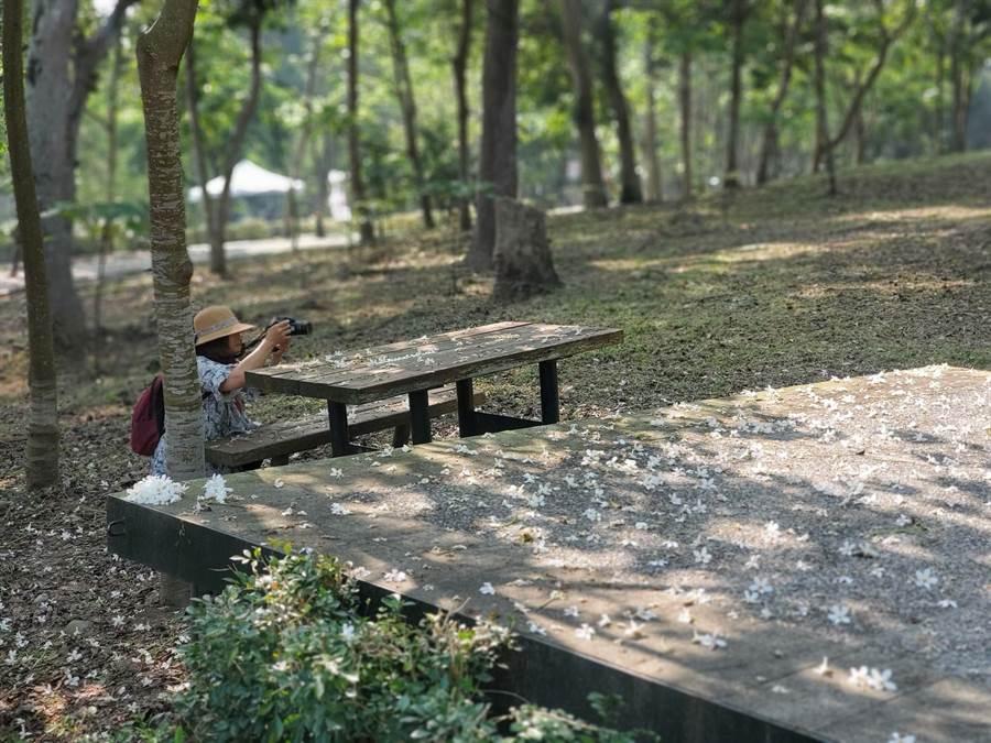 古坑鄉油桐花美景宜人,吸引許多遊客美拍。(周麗蘭攝)