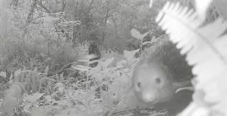 埋伏山老鼠 稀有動物「食蟹獴」亂入