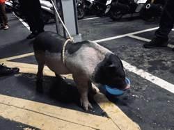 寵物豬數度「趴趴走」 警助返家:再跑就抓回來加菜