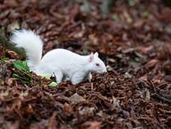 罕見白化松鼠驚現住家 全英僅50隻
