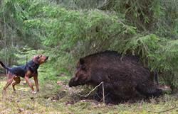 比特犬激戰野豬 搏鬥畫面怵目驚心