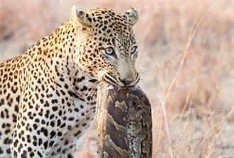 母豹為小豹無懼激戰巨蟒 場面驚險
