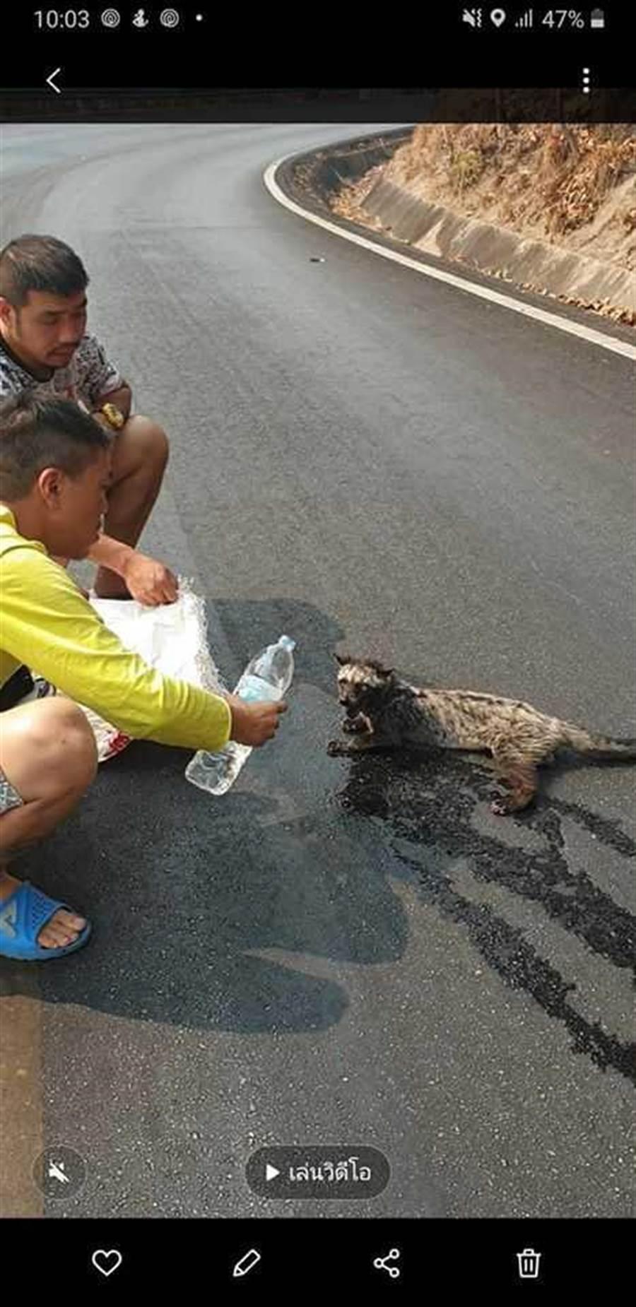 麝香貓躲避火災癱在路邊喘息,令人心疼。(圖/Sukanya Ruangpratheep臉書)