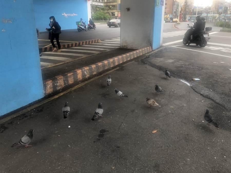 基隆東岸高架橋下,野鴿群聚,鳥屎從天而降汙染環境,也造成行人困擾。(許家寧攝)