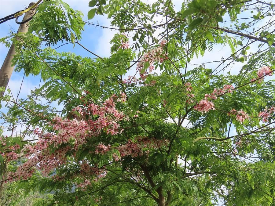 現在梅嶺不只可賞螢,也有油桐花可賞。(莊曜聰攝)