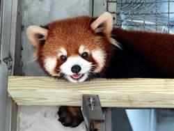 萌!小貓熊姊弟愛吃食物不一樣!蘋果、紅蘿蔔各有喜好