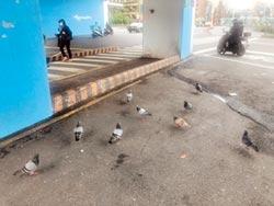 基隆東岸高架橋下餵鴿 3民眾挨罰