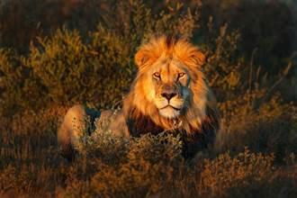 公獅變奶爸 與小獅真實互動萌翻