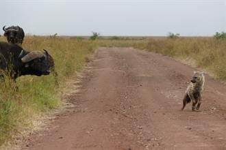 鬣狗獵食小水牛 慘被牛群圍毆痛扁