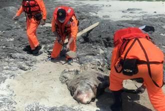台東海域傳出綠蠵龜、侏儒抹香鯨死亡