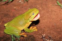 聽過青蛙尖叫嗎?嗓音意想不到