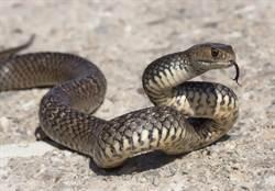 毒蛇竄家門2童險被咬 勇媽神救援