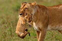 母獅叼幼獅渡河 網見背後亮點哭了