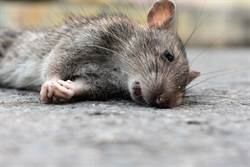 封城餐廳停業 老鼠餓昏頭驚吃幼鼠