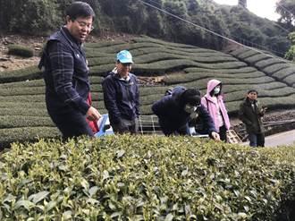 梨山春茶霜害破2成 中市農業局提報現金救助