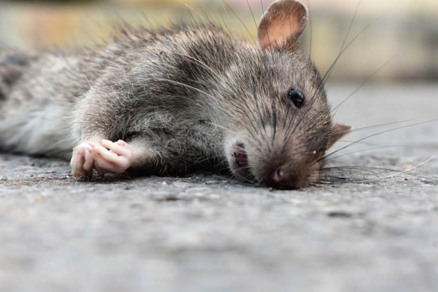 封城餐廳停業 老鼠餓昏頭驚吃幼鼠(示意圖/達志影像)