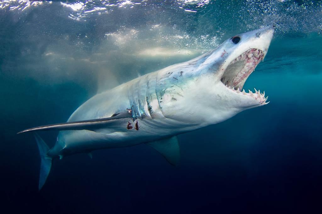 釣起大魚只剩頭血狂滴 突衝出大白鯊他嚇傻(示意圖/達志影像)