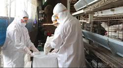 台南鹽水一蛋雞場染禽流感 撲殺8624隻蛋雞、560公斤雞蛋