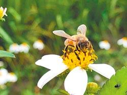 520世界蜜蜂日 友善稻田喜見嗡嗡嗡
