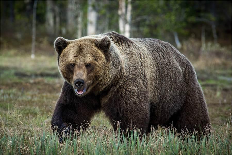 棕熊見三角錐倒地 下秒反應眾人驚(示意圖/達志影像)