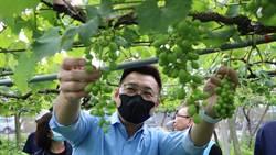 氣候影響致空包彈 台中新社葡萄農損逾6成