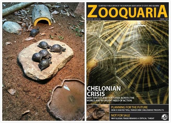 目前2歲的小象龜們依然穩定成長中(戴為愚提供)(左)、改善亞達伯拉象龜照養模式的過程,還受邀登上歐洲動物園暨水族館會季刊ZOOQUARIA(右)。(台北市立動物園提供)