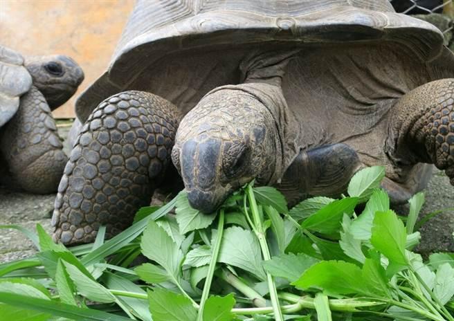 保育員增加食物量與樹葉的比例,好滿足象龜的營養需求(戴為愚提供)。(台北市立動物園提供)