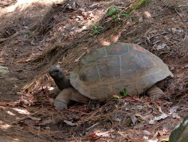 接近30度角的丘陵,供象龜探索運動(戴為愚提供)。(台北市立動物園提供)