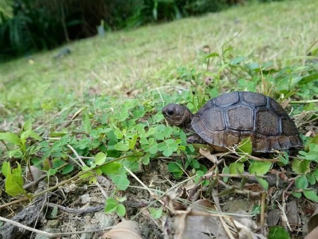 進行一系列改善措施後,保育員發現每隻個體的生長也跟著加快(戴為愚提供)。(台北市立動物園提供)
