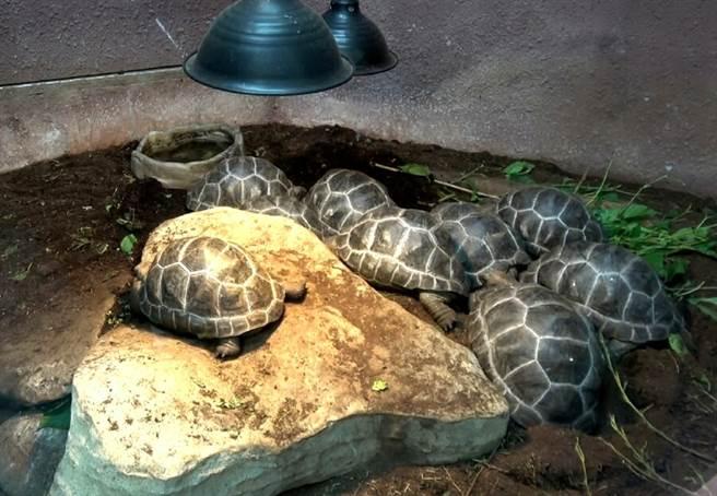 台北市立動物園首次繁殖成功的亞達伯拉象龜寶寶們已經2歲囉!(台北市立動物園提供)
