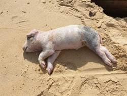 小金門發現海漂死豬 檢出非洲豬瘟病毒