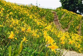滿山盡是黃金海 花壇金針花開不用遠赴花東…
