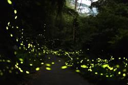 大湖大窩螢火蟲季開跑 滿天星斗近在眼前