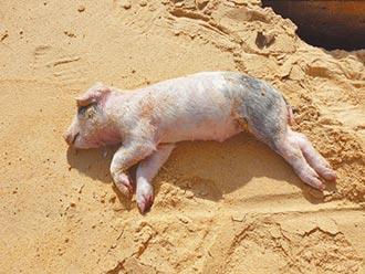 小金門海漂豬屍 檢出非洲豬瘟