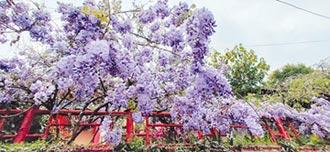 大梨山周邊綠美化 打造紫藤山城