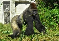 不只熊貓喜歡竹!荷蘭金剛猩猩妹妹愛吃黃金竹