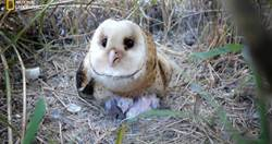 世界地球日希望永續 台灣稀有物種貓頭鷹生態首度曝光