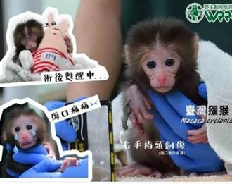 怒!彌猴媽被宰殺烹煮 殘臂幼猴鍋邊拉母臂哭泣