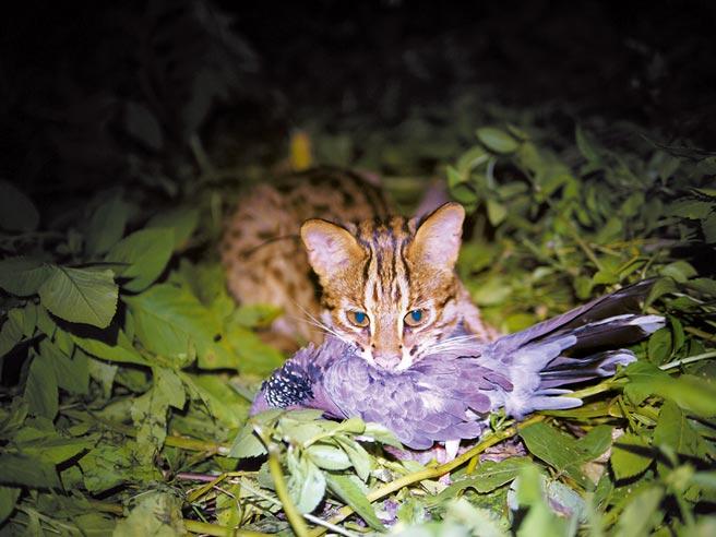 陳美汀長期研究石虎生態,記錄下石虎捕食鳥類的瞬間。(台灣石虎保育協會提供)