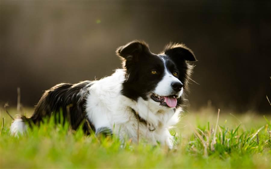 記得千種玩具名 世界最聰明狗是牠(圖為邊際牧羊犬/達志影像)