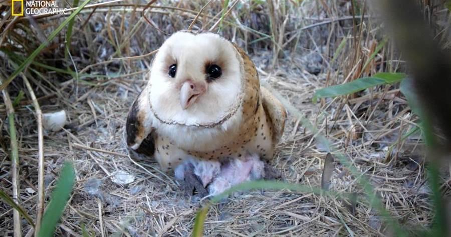 「台灣草鴞」是台灣瀕臨絕種、唯一住在草叢的草生性貓頭鷹。(圖/國家地理提供)