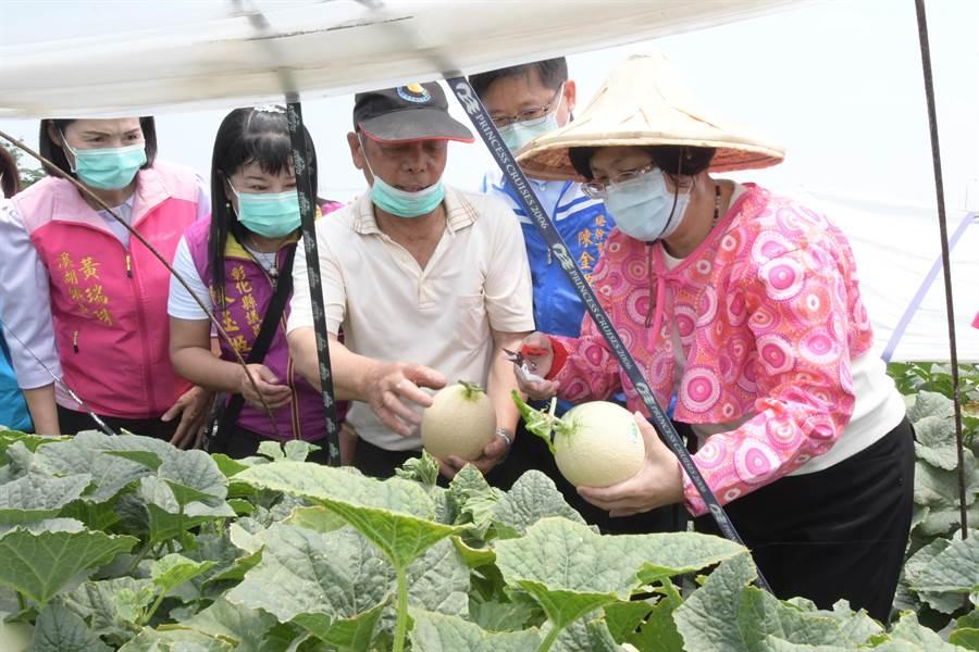 彰化溪湖人稱「瓜仔王」的農民黃重順,種植哈密瓜及南瓜經驗長達40年以上,王惠美說,青農當道,老農也不遑多讓。(吳建輝攝)