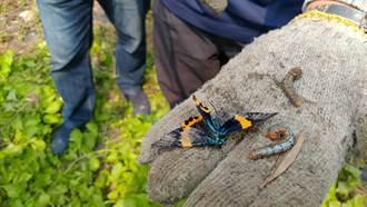 橙帶藍尺蛾啃光羅漢松莖葉 樹農求助縣府防治