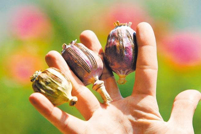 已經割過鴉片膏的罌粟果。(新華社資料照片)